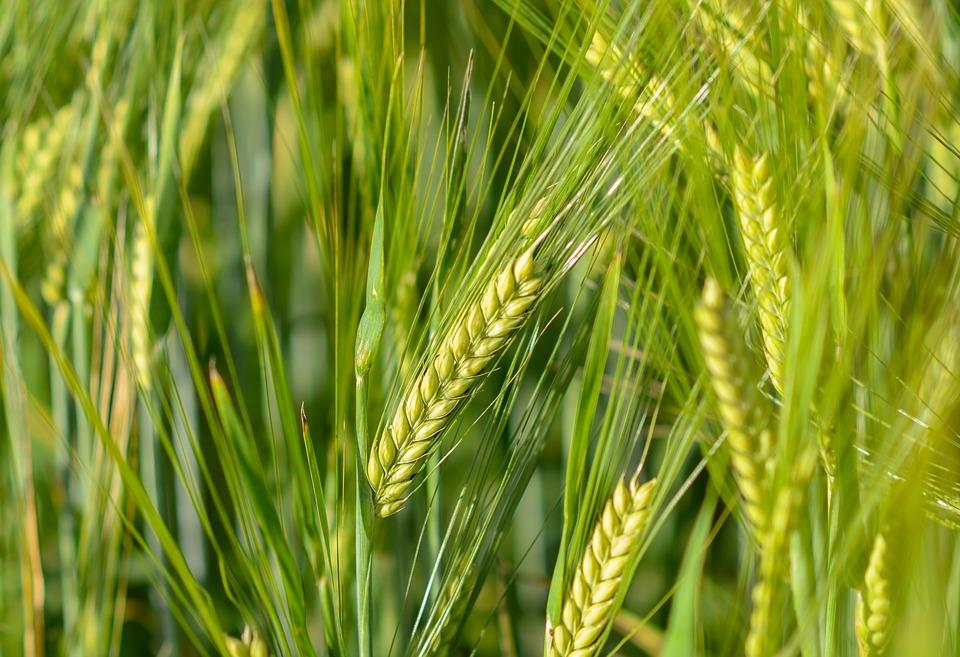 Повышаем урожайность зерновых культур!